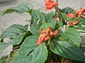 0998Ornamental plants in the Philippines 44.jpg