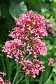 0 Centranthus ruber -Valériane rouge (1).JPG