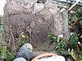 1,5m Birnbaum, fingerdicke Wurzel, 3.10.2012. - panoramio.jpg