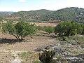 133 Garrofers i vinyes del Trull (Vespella de Gaià), a la vall del barranc de Salomó.jpg