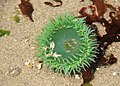 138 sea anemone swingle odfw (7639241206).jpg