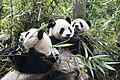 1 panda trio sichuan china 2011.jpg
