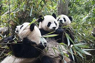 Environment of China - Panda in Sichuan.