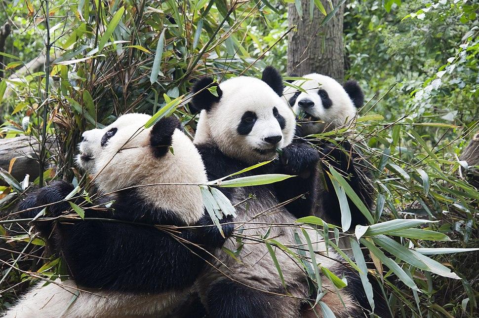 1 panda trio sichuan china 2011