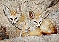 2-Fennec-Foxes-7-18-09-Tad-Motoyama-.-.jpg