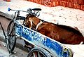2009 goat and bicycle in India 6512003001.jpg