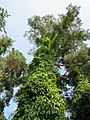 20130710Parthenocissus inserta2.jpg