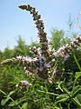 20130727Mentha longifolia2.jpg