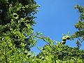 20130817Citrus trifoliata4.jpg