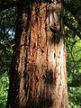 20130910Metasequoia glyptostroboides5.jpg