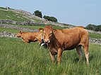 2013 Red Cattle in Yorkshire.jpg