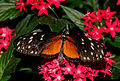 2014-05-01 15-14-45-Heliconius-hecale-hunawihr.jpg
