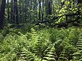 2014-05-11 10 32 52 View of a ferny area from the Old Forge Trail in Clayton Park, Upper Freehold Township, New Jersey.JPG