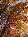 2014-11-02 12 30 30 White Oak during autumn along Broad Avenue in Ewing, New Jersey.JPG