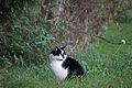 20141102- Black and White Cat by sebaso 07.jpg
