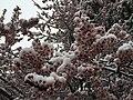 2015-04-08 07 55 37 A wet spring snow on Purple-leaf Plum blossoms along Pine Street in Elko, Nevada.jpg