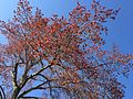 2015-04-12 16 30 35 Male Red Maple in flower along Bayberry Road in Ewing, New Jersey.jpg