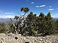 2015-04-26 14 27 29 Old Utah Juniper on the summit of Grindstone Mountain, Nevada.jpg
