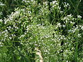 20150605Valeriana officinalis3.jpg