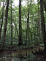 2016-07-20 14 26 27 Bald Cypress trees with knees at the Battle Creek Cypress Swamp in Calvert County, Maryland.jpg