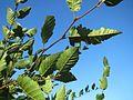 20160929Carpinus betulus3.jpg