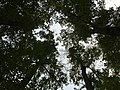 2017-10-23 08 35 55 View up into the canopy of several mature Pin Oaks near the West Branch Shabakunk Creek in Ewing Township, Mercer County, New Jersey.jpg