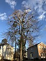 2018-02-02 16 41 44 A large Red Maple with multiple instances of Mistletoe along Elderberry Place in the Franklin Glen section of Chantilly, Fairfax County, Virginia.jpg