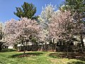 2018-04-10 13 55 06 Autumn Cherries blooming along Lees Corner Road (Virginia State Route 645) in the Franklin Farm section of Oak Hill, Fairfax County, Virginia.jpg