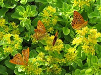 2019-07-01 (105) Argynnis paphia (silver-washed fritillary) on a Phedimus aizoon (aizoon stonecrop) at Bichlhäusl, Tiefgrabenrotte, Frankenfels, Austria.jpg