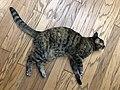 2020-05-16 21 04 53 A tabby cat lying on a wooden floor in the Franklin Farm section of Oak Hill, Fairfax County, Virginia.jpg