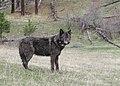 2748 OR-12 Wenaha male wolf odfw (17294275825).jpg