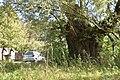 2 Stara wierzba - Lasmiady - 880cm.jpg