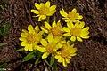 2nd Sun Peaks flower hike of the year...Aster spp. ??... (28293204280).jpg