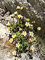 3894 - Gornergrat - Flowers.JPG