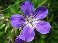 4877 - Mürren-Gimmelwald - Flowers.JPG