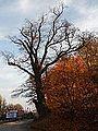 551 oak Gdańsk niepołomicka.jpg