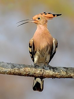 7. Common Hoopoe (Upupa epops) photograph by Shantanu Kuveskar.jpg