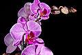 75 365 Orquideas (5532238571).jpg