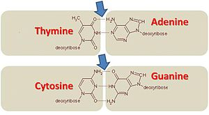 GC-content - Nucleotide bonds showing AT and GC pairs. Arrows point to the hydrogen bonds.
