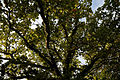 A 'Quercus robur' Nuthurst West Sussex England.jpg