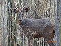 A Barking Deer.jpg