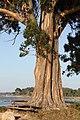 A Toxa, eucalipto xigante 01-02.jpg