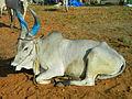 A aesthetic Bull 4.JPG