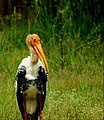 A beautiful Painted Stork.jpg