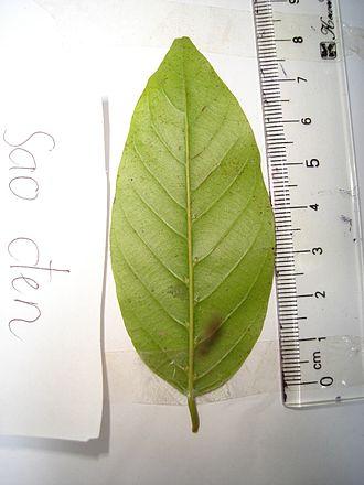 Hopea odorata - Image: A leaf of Hopea odorata