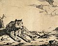 A leopard lying on the ground. Engraving by M De Bye after P Wellcome V0021501.jpg