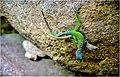 A marmoratus hybridisation.jpg