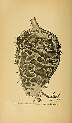 Myrmecodia - In illustration of the inner chambers of a Myrmecodia plant
