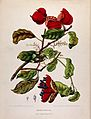 A plant (Sterculia nobilis Smith.); flowering and fruiting b Wellcome V0042704.jpg