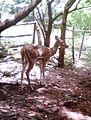 A spotted deer at Kambalakonda Visakhapatnam.jpg
